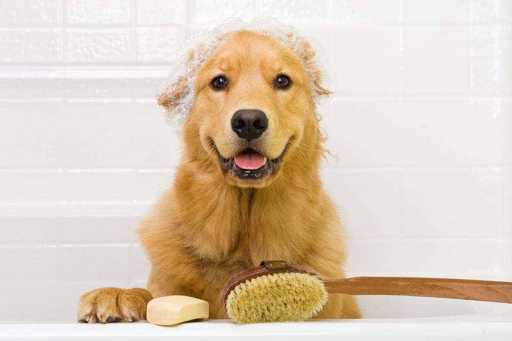 Golden Retriever in bathtub